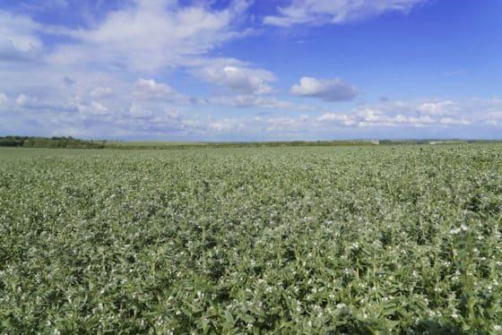 ahiflower-crop-in-bloom