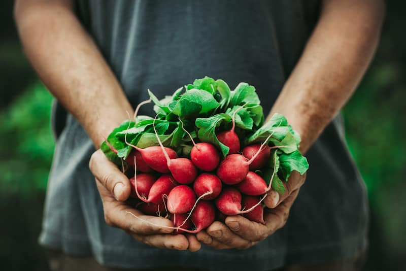 Organic vegetables. Farmers hands with freshly harvested vegetables. Horse radish