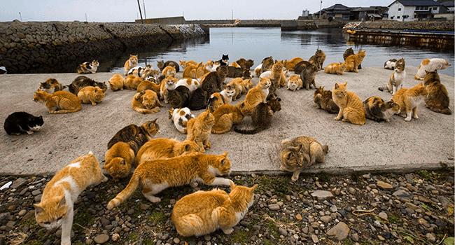 Risultati immagini per Aoshima e Tashirojima, Giappone cat