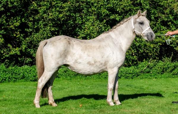008. A Welsh pony Langevoren Cyrus