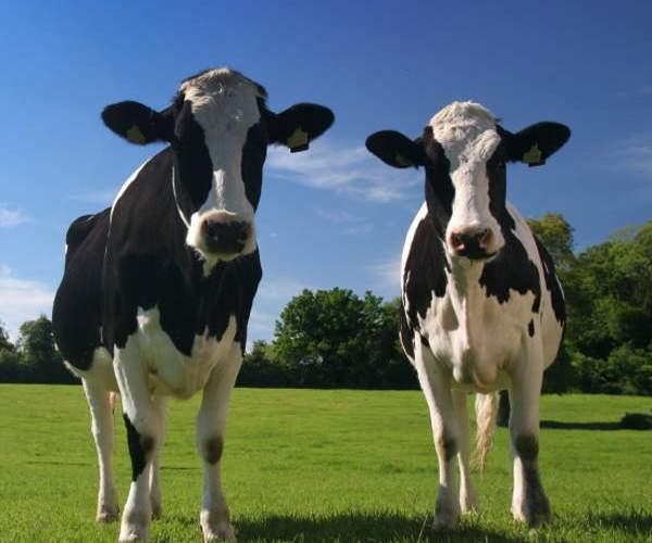 deux_vaches