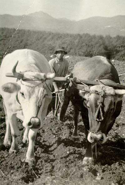 arano-con-le-vacche