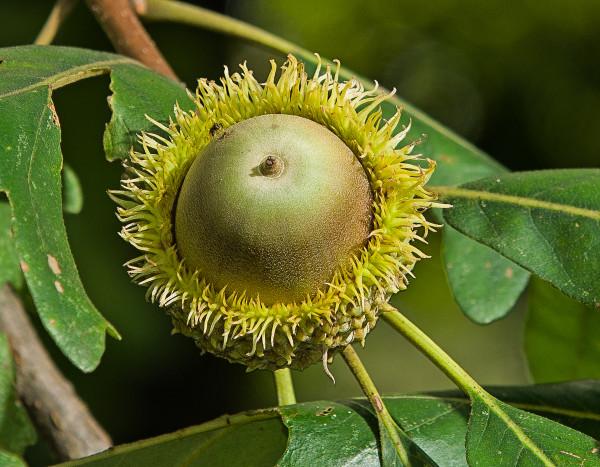 Bur oak acorn