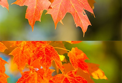 Picture of sugar maple leaves in fall colors