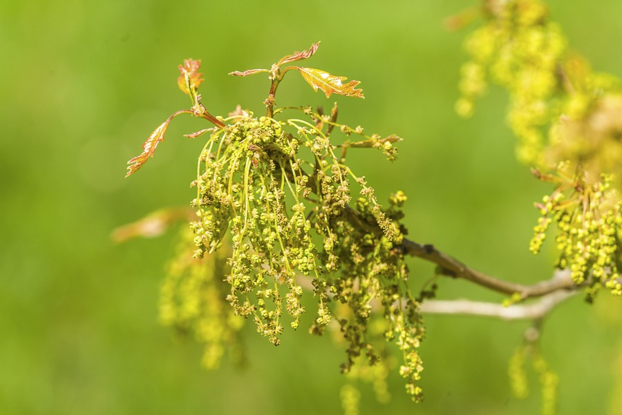 Ash Tree Allergy Related Keywords & Suggestions - Ash Tree Allergy ...