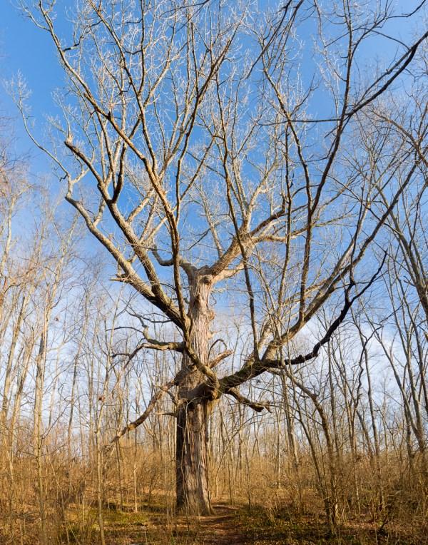The Veteran's Park Oak