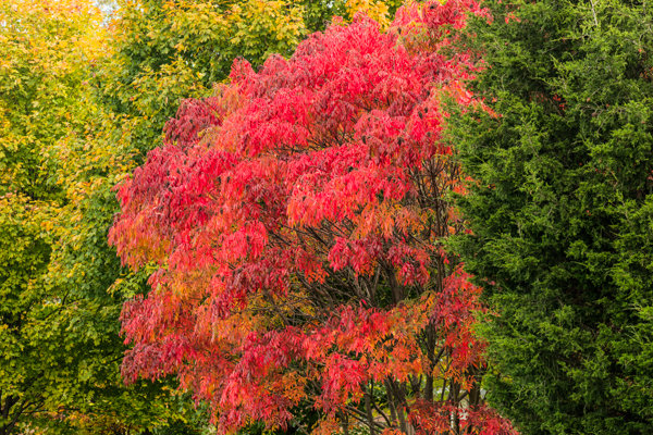 Autumn leaves of winged sumac, Rhus copallina