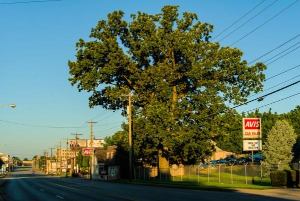 The Ingleside Oak