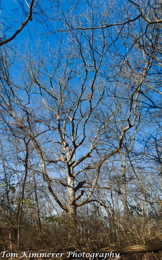 Old chinkapin oak