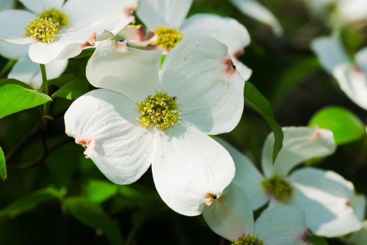 flowering dogwood inflorescence
