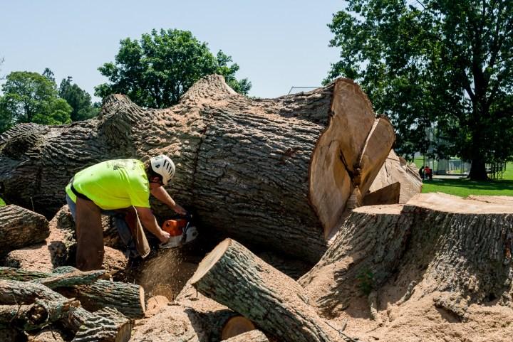 Dead mature oak