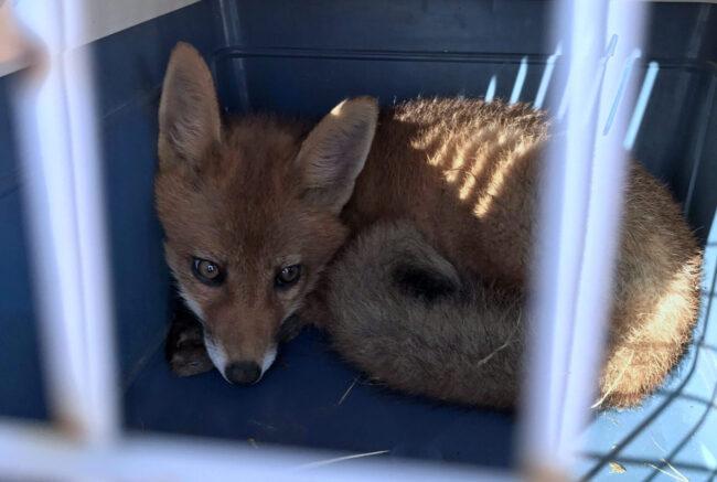 Volpe Rossa soccorsa dai veterinari dell'Ulss4