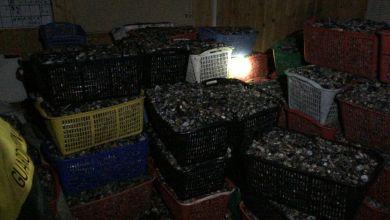 Chioggia: sequestrate 5 tonnellate di vongole