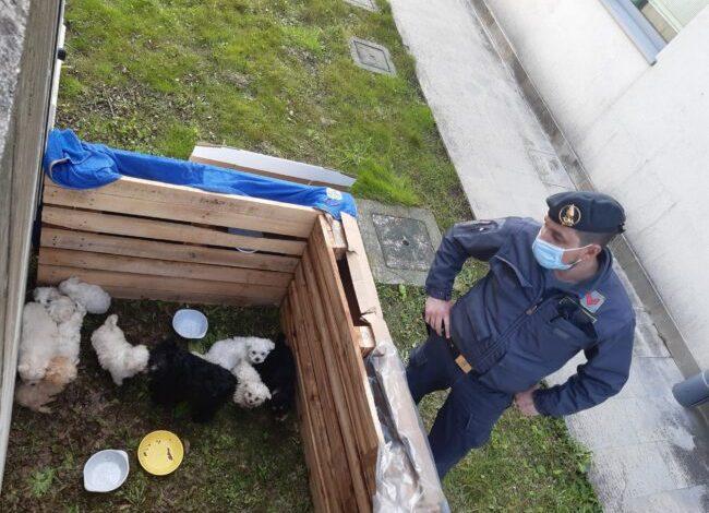 Cuccioli di maltese salvati dalla Finanza: saranno dati in affido