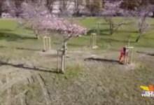 Parco Albanese: piantati 16 nuovi ciliegi