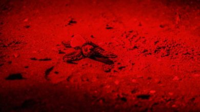Tartaruga Caretta caretta: schiuse le prime uova a Jesolo
