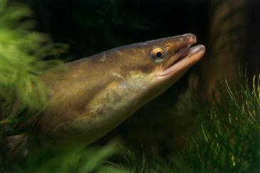 European eels are being impacted by the drug pollution in their water.