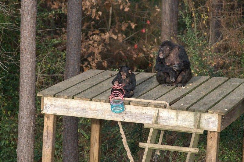Vita da scimpanzé