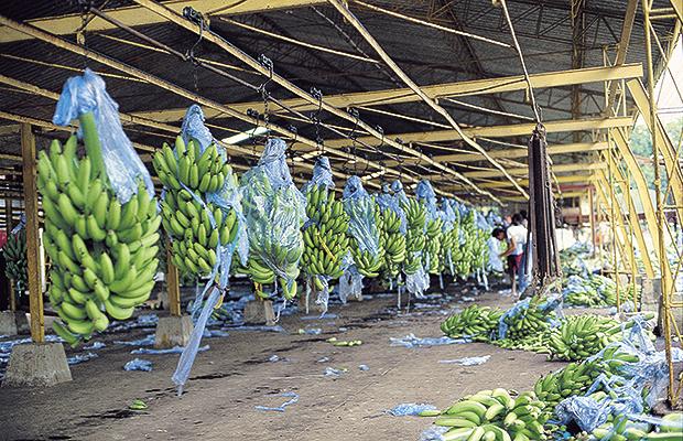 bananeros jep 1