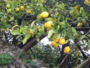 La Coltivazione Del Limone In Vaso E In Terra Verdeblog