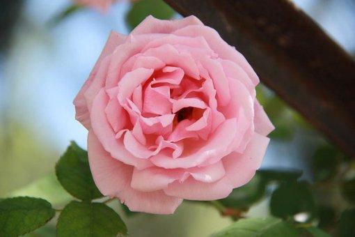 Rosa, Rosaleda parque del Oeste(Madrid)