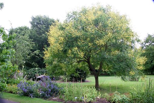 koulteria paniculata