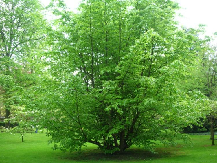 Parrotia verde