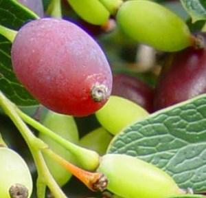 Fruto de Berberis thumbergii
