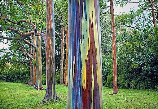 Eucalyptus deglupta: Bosque de Deglupta