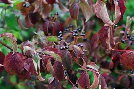 Hoajas en invierno Cornus sanguinea