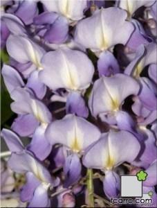 flores de glicinia