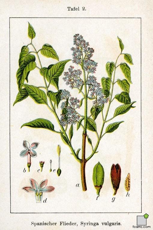 Esquema gráfico Syringa vulgaris (El lilo)