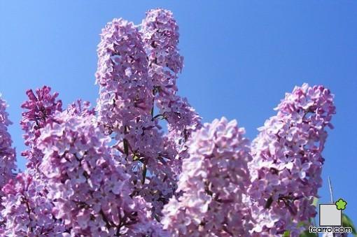 Syringa vulgaris, flores