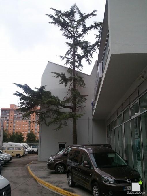Cedro en Mislata (Valencia)