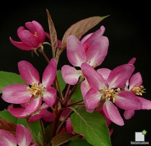 Flores Malus x purpurea
