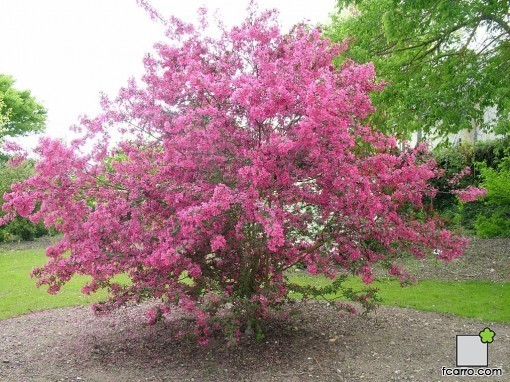 El manzano ornamental verdeden for Imagenes de arboles ornamentales