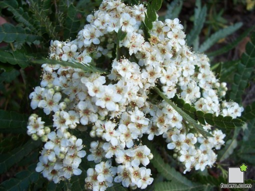 Flores de Lyonothamnus floribundus