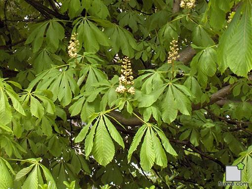 Castaño de indias, hojas y flores