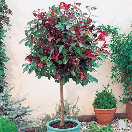Arbolillo photinia