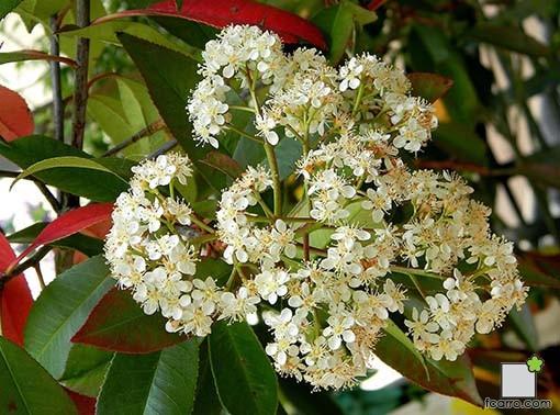 photinia, flor