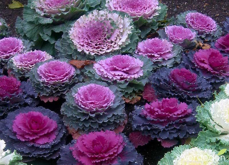 Coliflores ornamentales