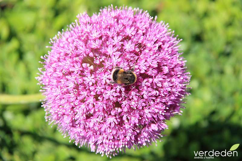 Allium y abeja
