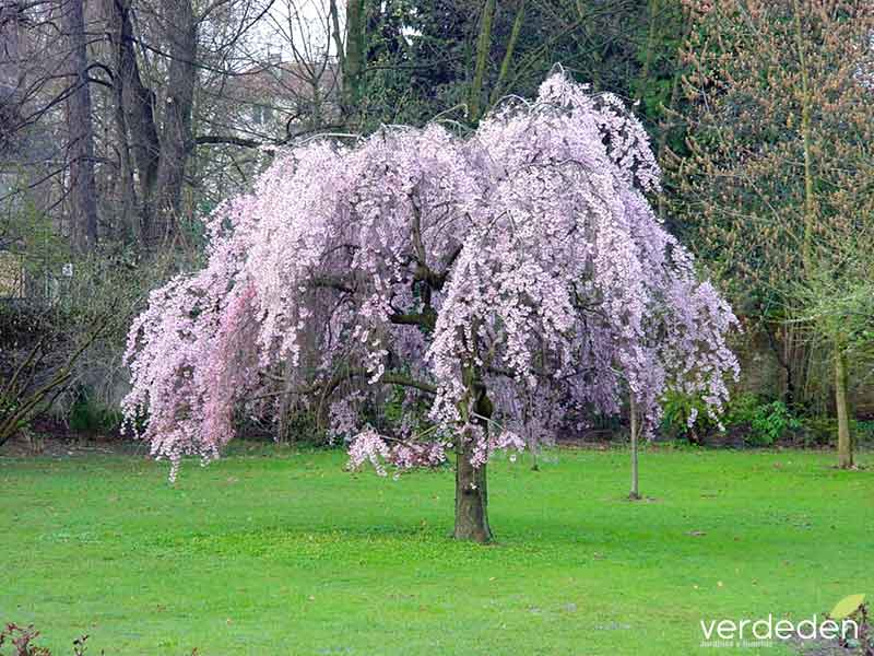 Prunus Jardín