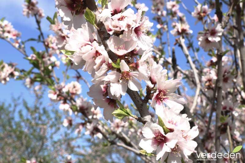 Quinta los molinos_rama de flor de almendro