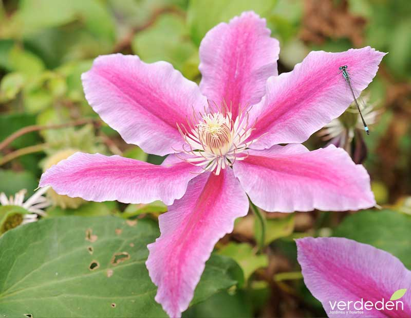 clematis Nelly Moser flor