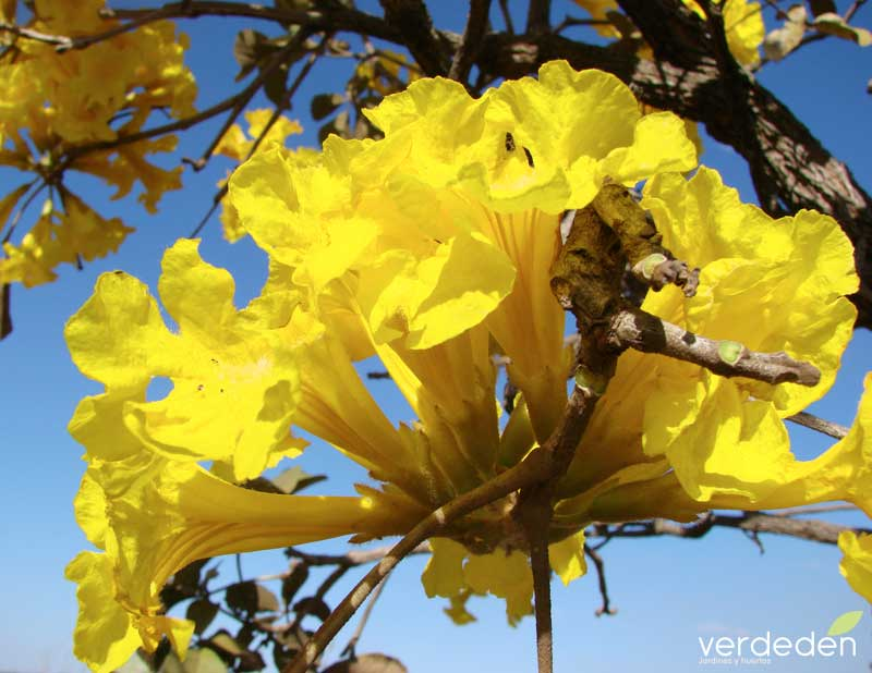 Tabebuia aurea - flor