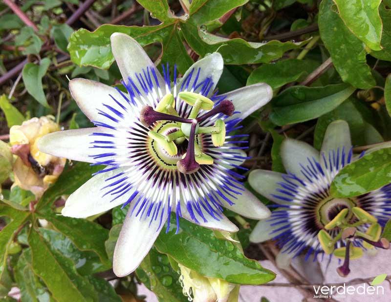 Passiflora carulea - flor de la pasión