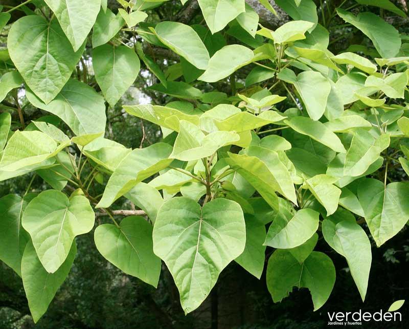 Paulownia tormentosa_hojas