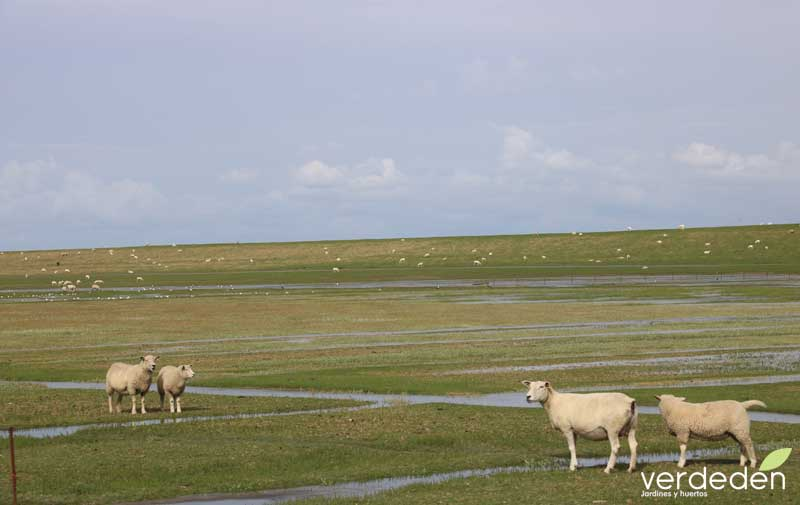 ovejas en el mar del norte