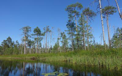 Kolumnisti Petri Nieminen: Valtion luonnontilaiset metsät on suojeltava